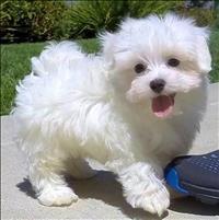Precioso feminino cachorro maltês para adoção