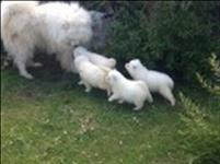 Bonito, adorável filhote de cachorro samoieda feminino