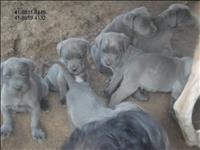 Filhotes de cane corso