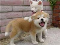 Lindos filhotes de akita inu para alegrar seu natal