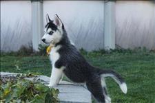Compro filhote de husky siberiano
