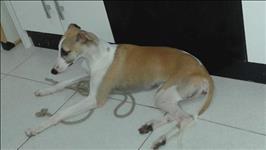 Greyhound/galgo inglês