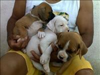 Boxer belos filhotes