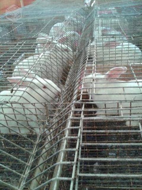 Vendo coelhos nova zelândia branco filhotes ou adultos