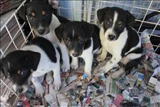 Filhotes de fox paulistinha - terrier brasileiro