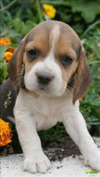 Filhotes de beagle em promoção.