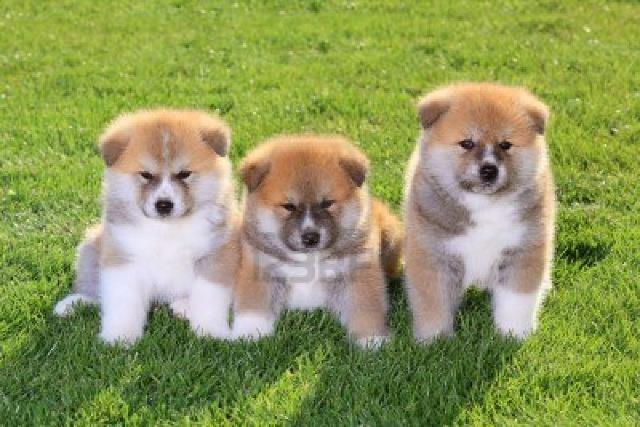 Akita inu excelente cão de guarda e companheiro