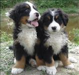 Bernese mountain dog com otima procedencia