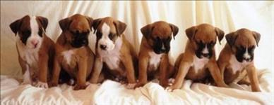 Boxer um cão forte e nobre