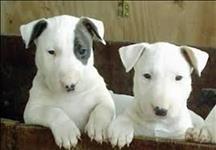 Bull terrier com otima linhagem