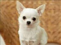 Chihuahua com procedencia