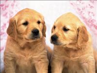 Golden retriever com procedencia