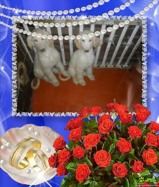 Afghan hound fêmeas