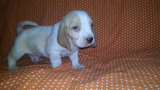 Bebezinhos basset hound