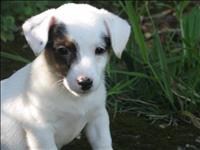 Jack russel short legs pedigree cbkc