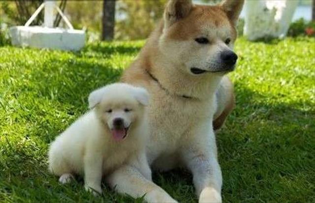 Akita inu maravilhosos filhotes !