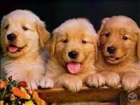Golden lindos filhotes