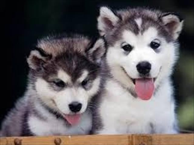 Husky Siberiano Maravilhosos Filhotes