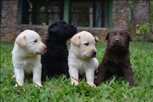 Labradores maravilhosos filhotes