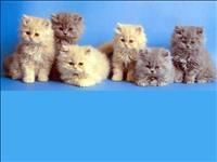 Gato persa maravilhosos filhotes