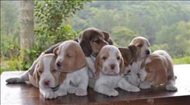 Os filhotes de beagle