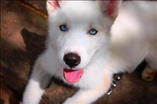 Os filhotes de husky branco