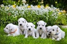 Os filhotes de schnauzer branco