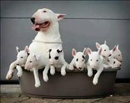 Os filhotes de bull terrier