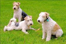 Os filhotes de fox terrier