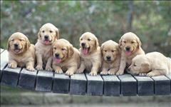 Os filhotes de golden