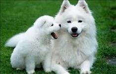 Os filhotes de pastor branco