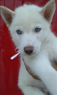 Filhotes de husky branco