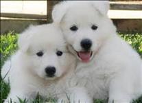 Filhotes de pastor branco