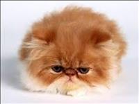 Filhotes de gatos persa