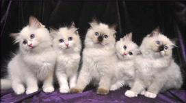 Gato ragdoll lindos filhotes