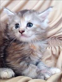 Gato maine coon lindos filhotes