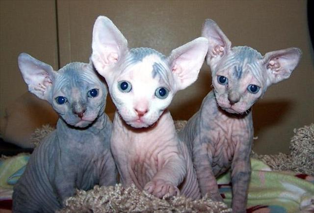 Gato sphynx lindos filhotes