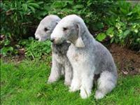 Bedlington terrier lindos filhotes