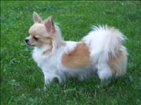 Chihuahua pelos longo lindos filhotes