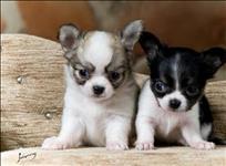 Chihuahua pelos curtos lindíssimos filhotinhos