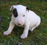 Buul terrier lindíssimos filhotinhos