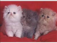 Gatinhos persa lindos