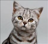 Lindos filhotes de gato american shorthair