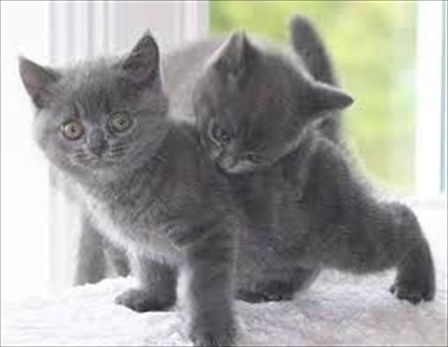 Gatos british shorthair lindos filhotes
