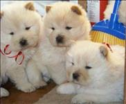 Chow chow lindissimos filhotes