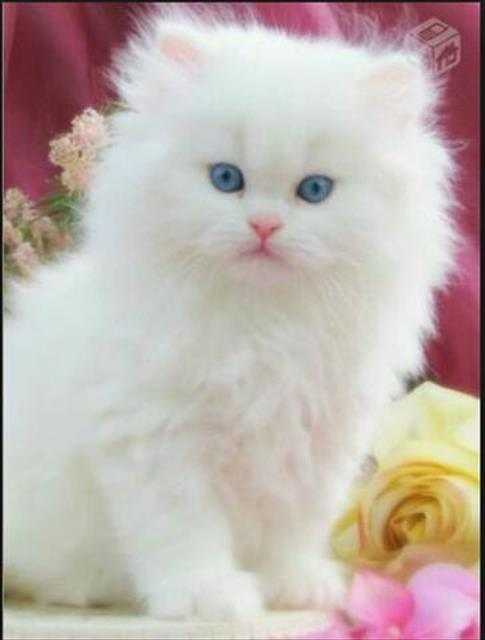 Gato persa lindos filhotinhos