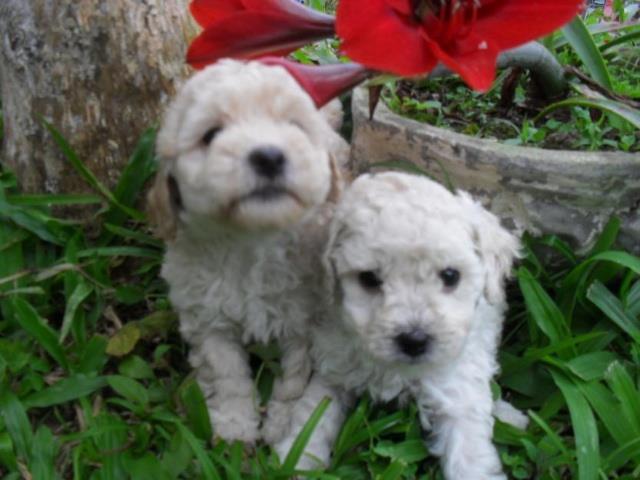 Poodle lindos filhotinhos