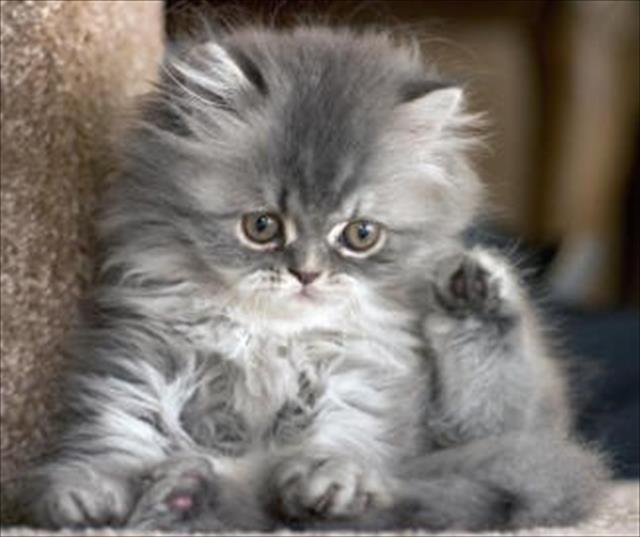 Gatinho persa lindos filhotes