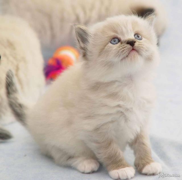 Gatinhos ragdoll lindos filhotes