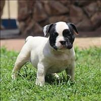 Exotic bully 5 meses macho